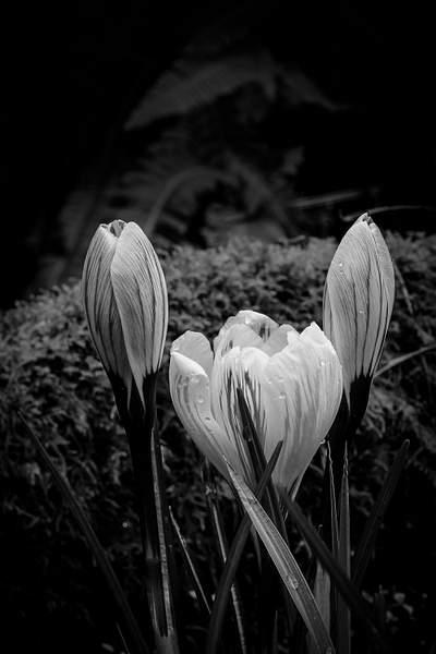 Black and White Crocuses