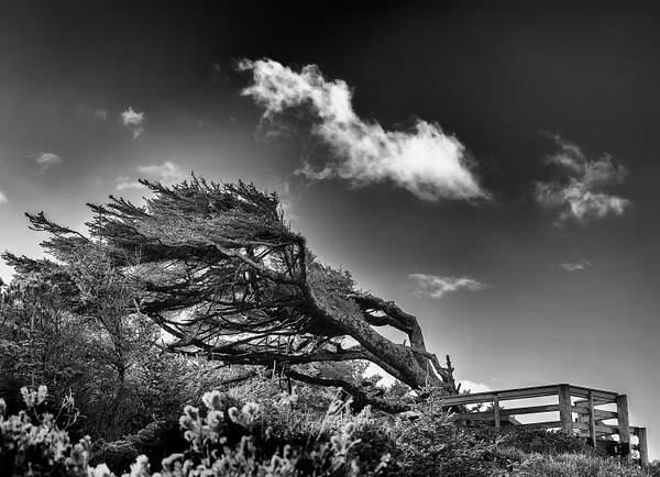 Black and White Windblown Tree