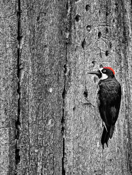 Acorn Woodpecker Storing Food for Winter
