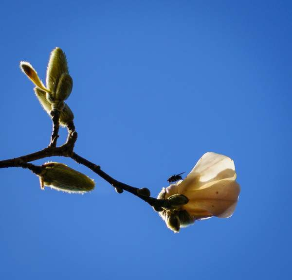 Fly On Frist Star Magnolia