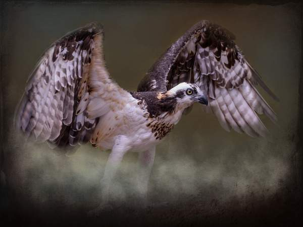 Osprey Coming Out Of the Mist copy