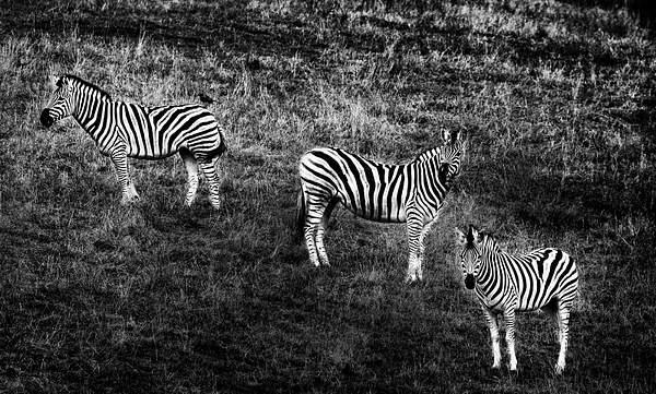 Three Zebras with Textures