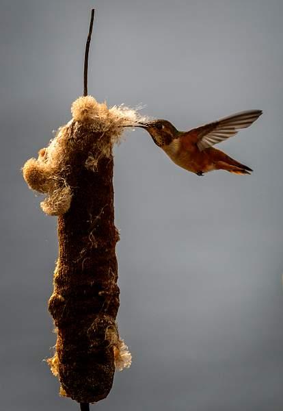 Female Annas Hummer Gathering Nesting Material