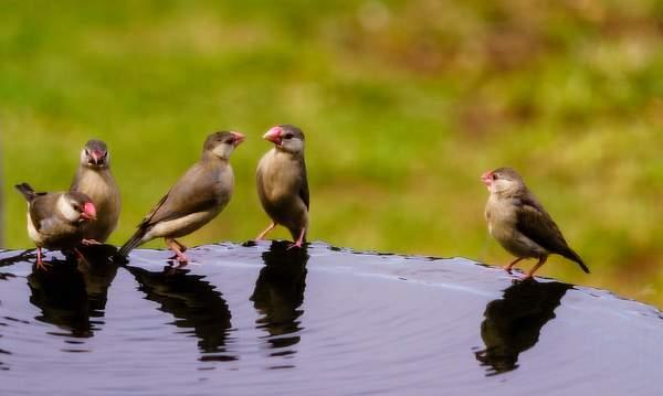 Java Sparrows Having A Conversation