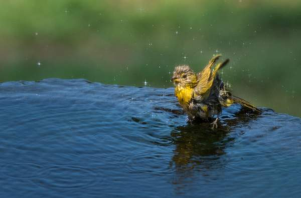 Saffron Finch Enjoying a Splash