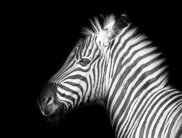 Black and White Zebra Close Up