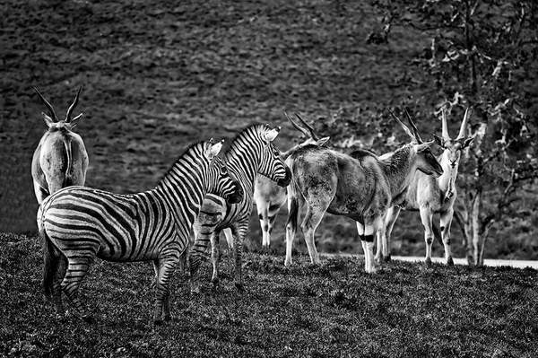 Black and White Zebras and Cape Elands