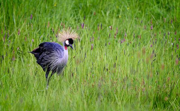 East African Crown Crane Walking in the Grass