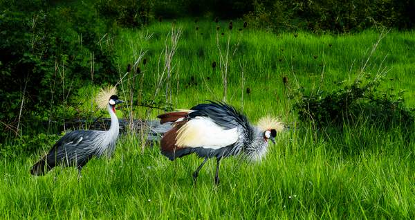 East African Crown Crane Trying To Entice His Coy Lady Friend