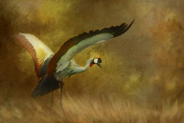 East African Crown Crane with Textures