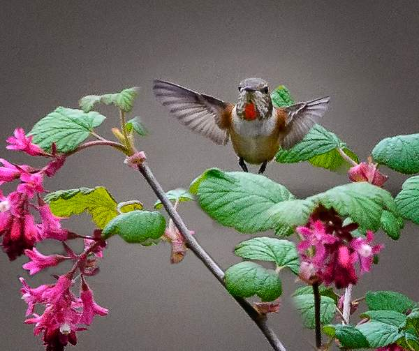Hummer On Flowering Currant