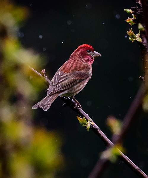 Purple Finch Sitting in the Rain