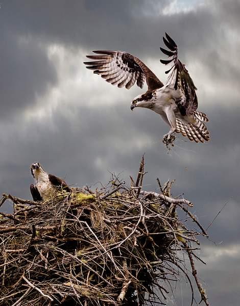 Osprey Bringing Nesting Materials