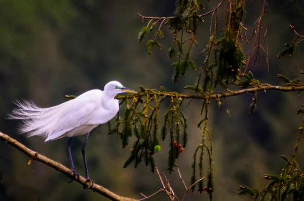 Egret Standing Alone