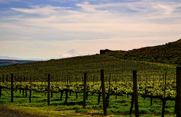 MaryHill_Vineyards_with_Mt_Hood_in_the_Distance