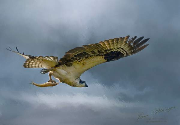 Osprey_Flying_with_Fish