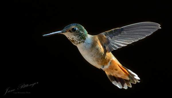 Rufous Fly In
