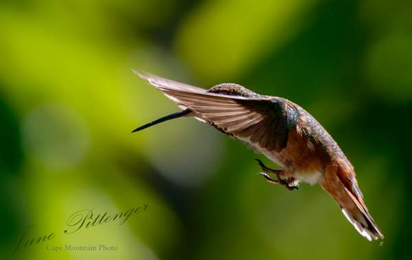 Rufous_Hiding_His_Face_While_Bracing_His_Feet