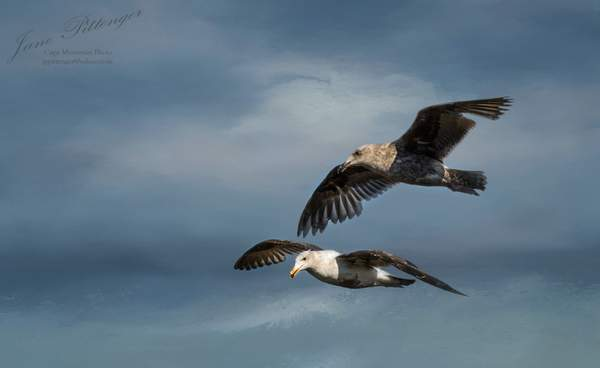 Seagulls Flying Together