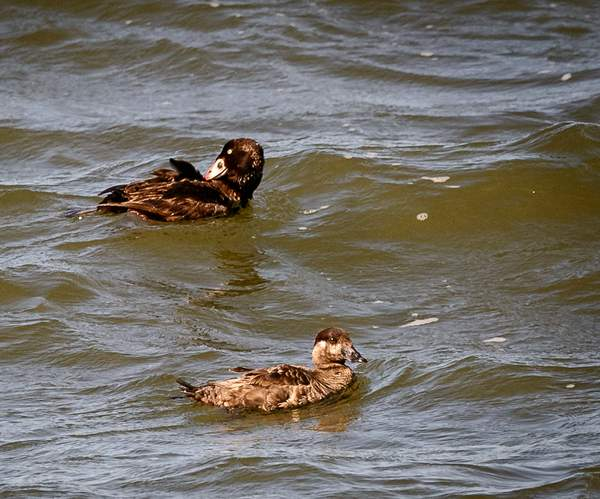 Surf_Scoter_Pair_in_Windy_River