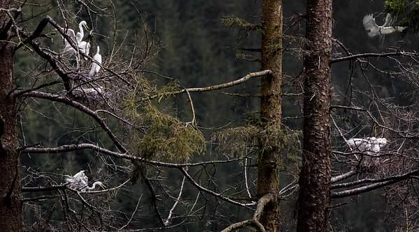White Egret Rookery