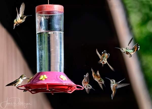 Fiesty_Rufous_Hummingbird_Babies_At_the_Feeder