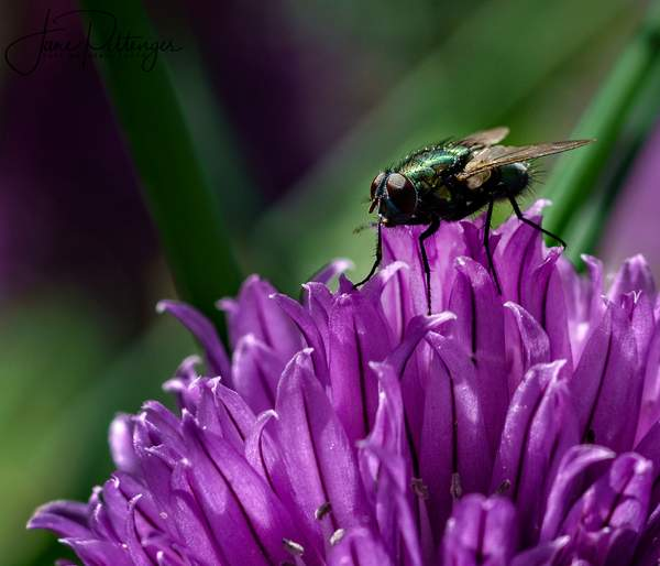 Fly On Chive Flower