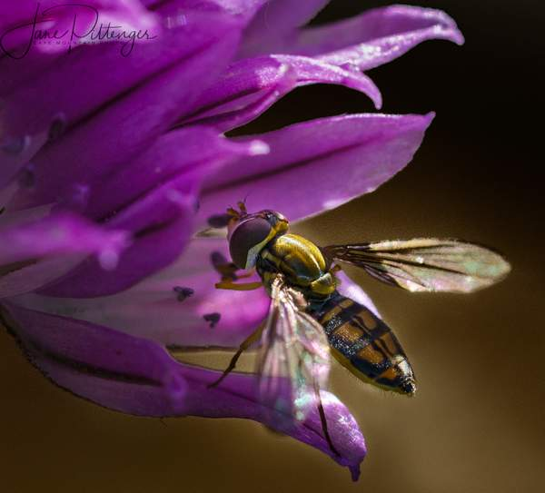 Hoverfly In Chive Flower