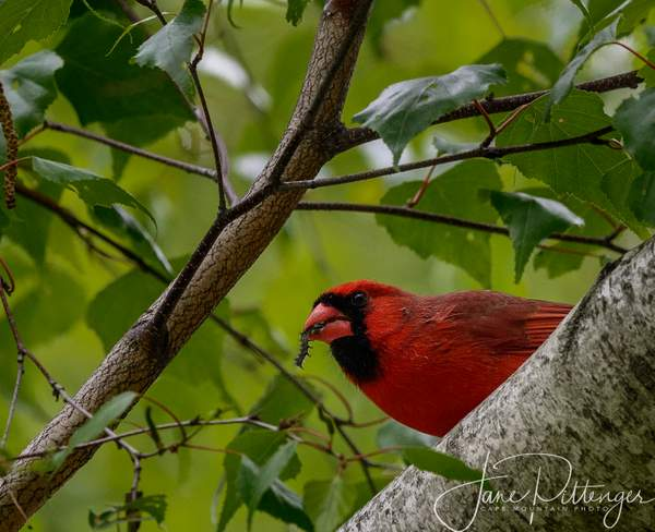 Male Cardinal with Dinner