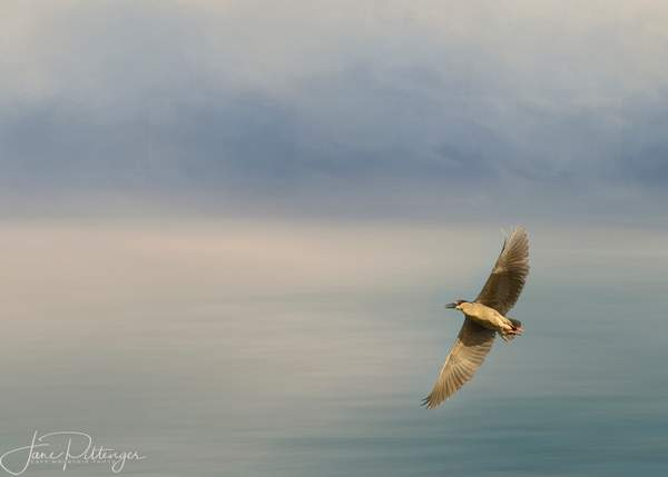 Night_Heron