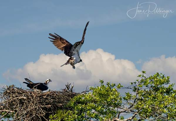 Men_Roll_Over_and_Go_to_Sleep,_Osprey_Males_Fly_Off
