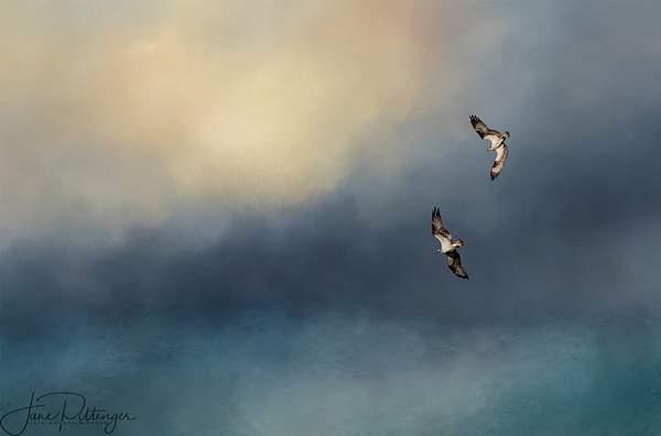 Osprey Pair Flying Together