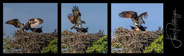 Osprey Tryptic