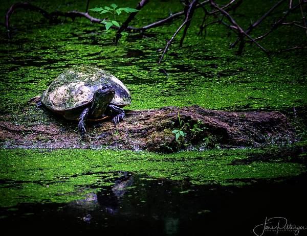 Pensive_Turtle