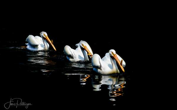 Three_White_Pelicans_Swimming_In_Breeding_Plumage