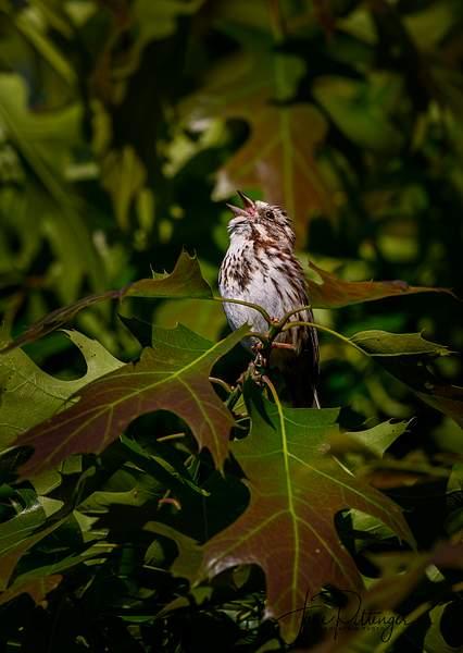 Sparrow Singing