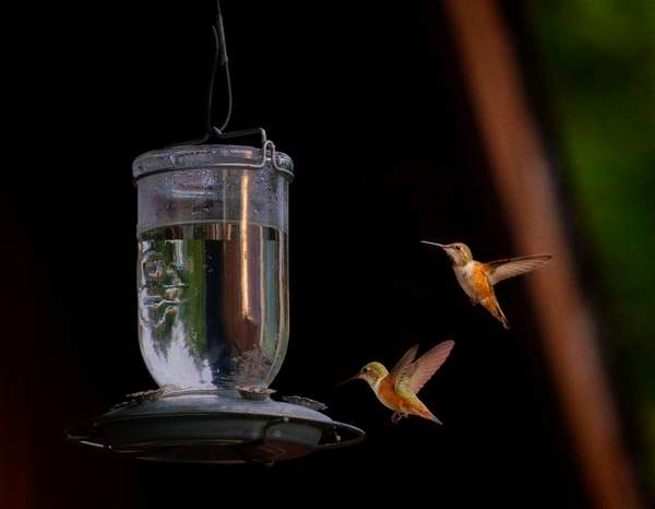 Two_Hummers_At_the_Feeder