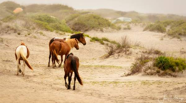 Wild_Horses_Traveling_to_the_Beach