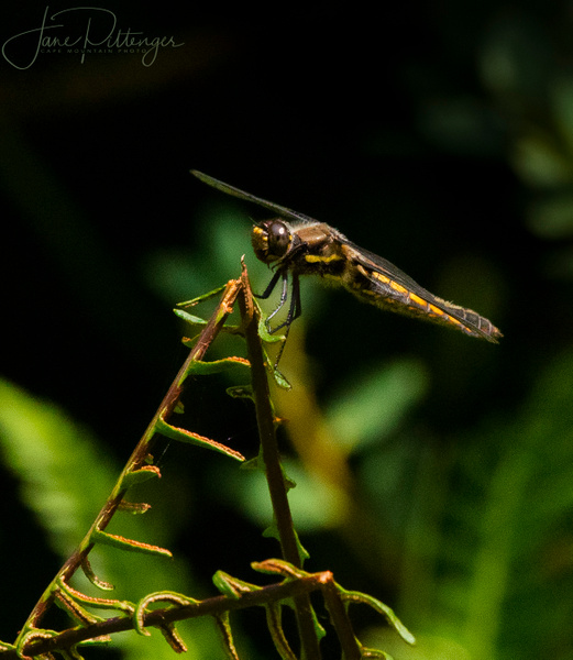 Dragonfly  Perched by jgpittenger