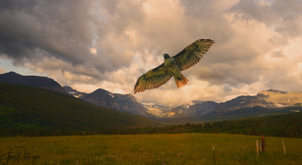 Red Tailed Hawk Fly Over v 2 by jgpittenger
