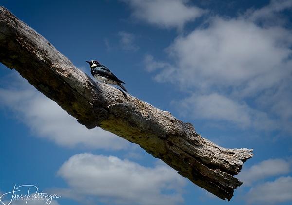 Acorn_Woodpecker by jgpittenger