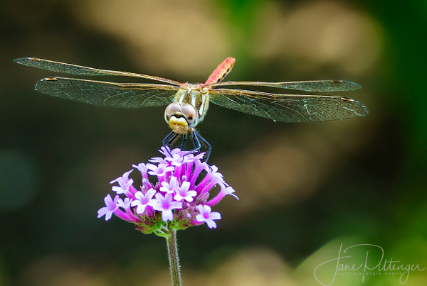 Dragonfly_Smile by jgpittenger