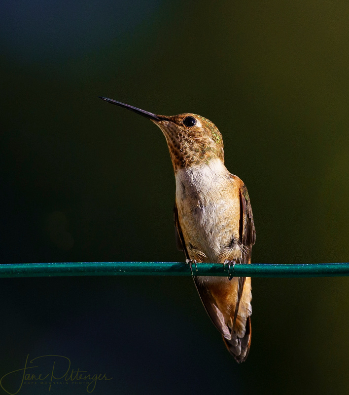 Hummer Pondering Sitting On a Wire