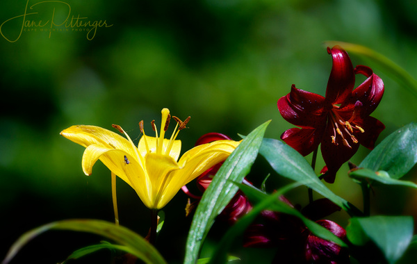 Lilies and Friend by jgpittenger
