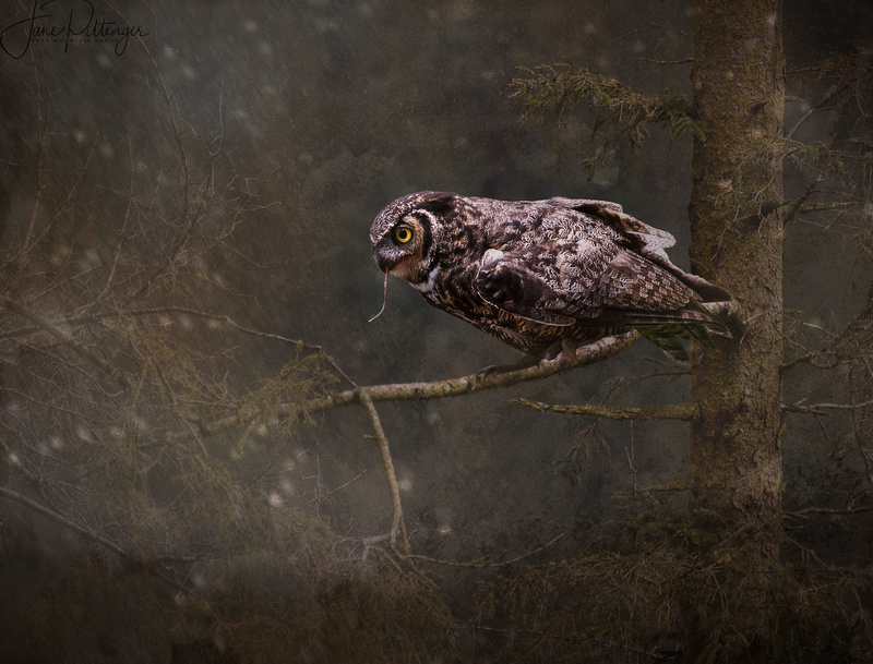 Great Horned Owl for Textures brightened