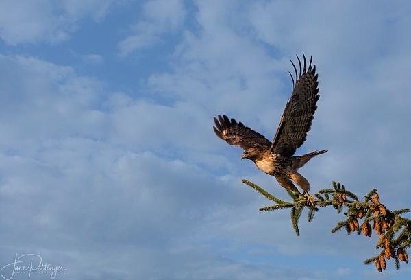Unidentified Hawk ready for Take Off by jgpittenger