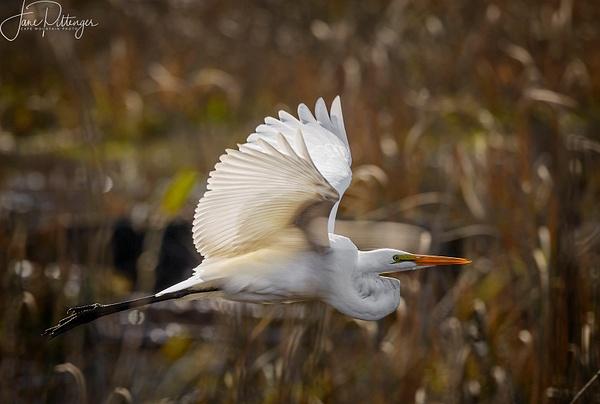 White Egret In Flight 2 by jgpittenger