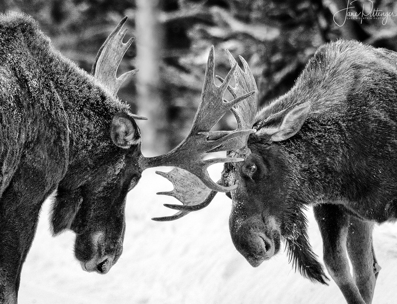 Adolescent_Moose_Practicing_B_and_W