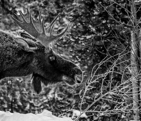 Moose_Stretch by jgpittenger