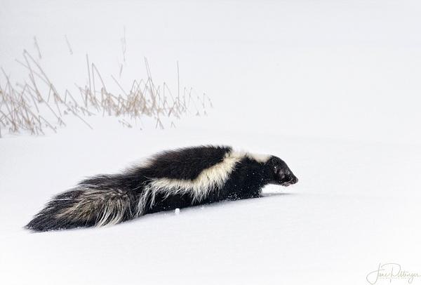 skunk by jgpittenger